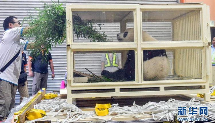 """出生在马来西亚的大熊猫""""暖暖""""启程回国"""