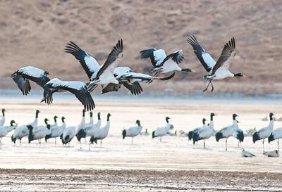 西藏林周 黑颈鹤越冬