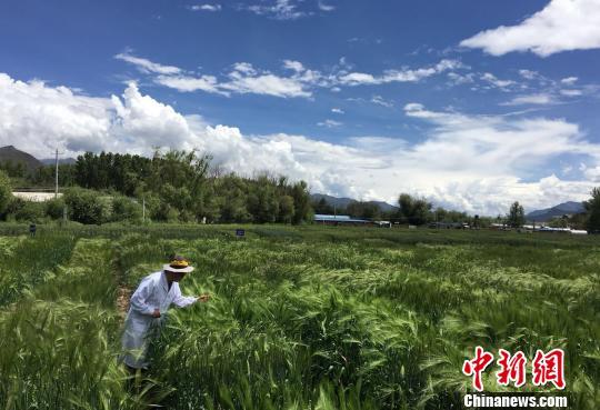 西藏与9家国家重点实验室合力 促青稞增产、牦牛育肥