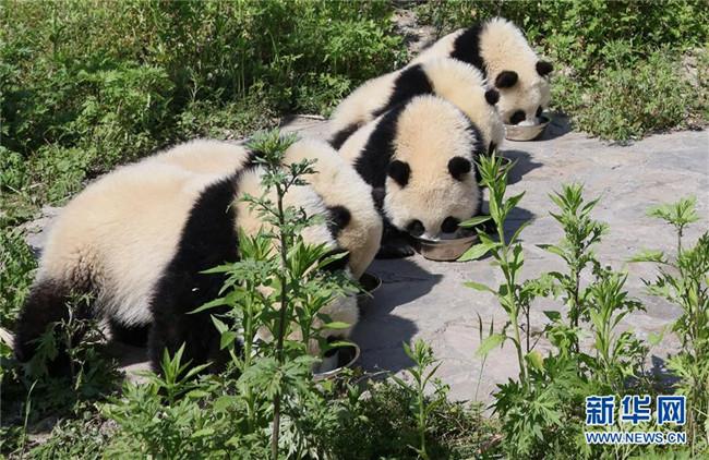 "<strong>藏在绿水青山间的大熊猫""幼儿园""</strong>"