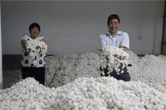 安康石泉县迎丰镇:蚕茧丰收蚕农乐 56元茧价创新高