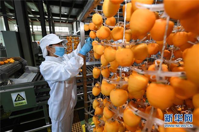 陕西富平:金秋柿红丰收年