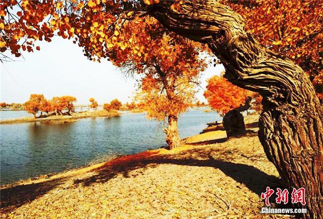 <b>深秋新疆塔里木河源头金色胡杨景色唯美</b>