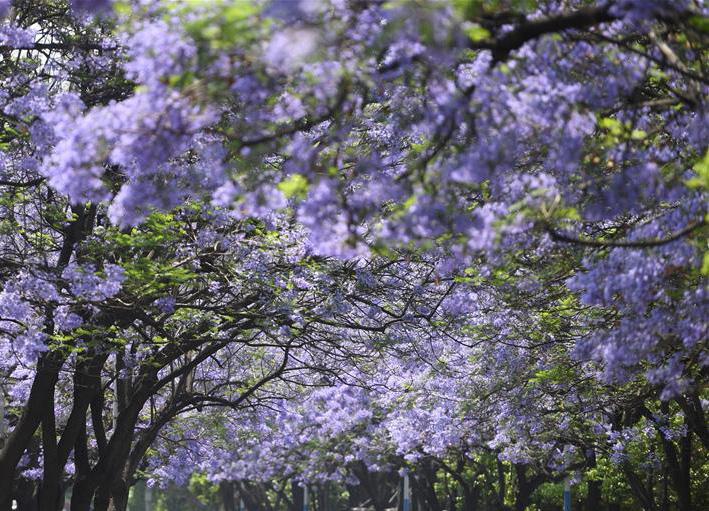 蓝花楹绽放春城