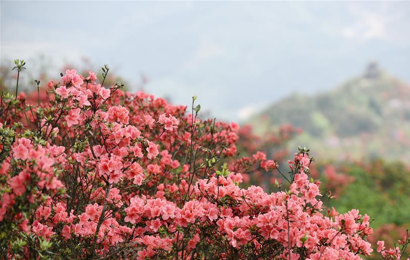 <b>贵州丹寨龙泉山――岭上开遍映山红</b>