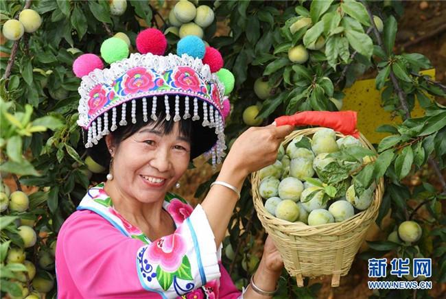 云南元谋:桃李节上喜摘丰收果