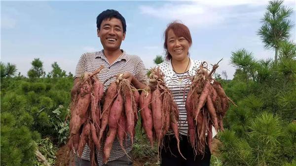 陕西凤翔县虢王镇:发展红薯产业 助力脱贫攻坚