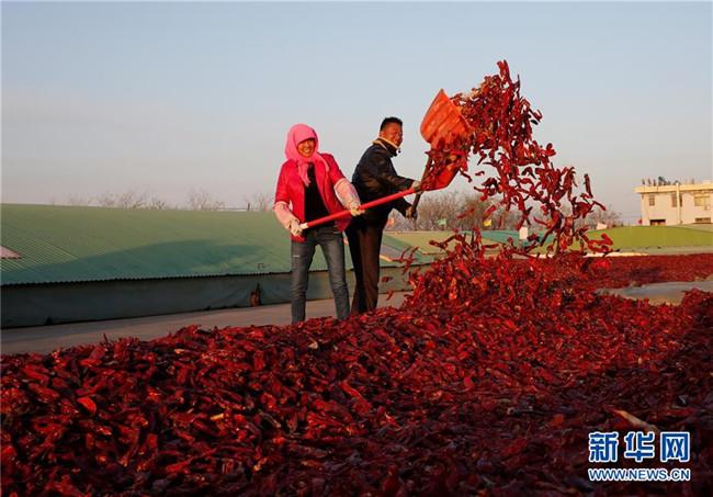 农闲不闲:火红辣椒助增收