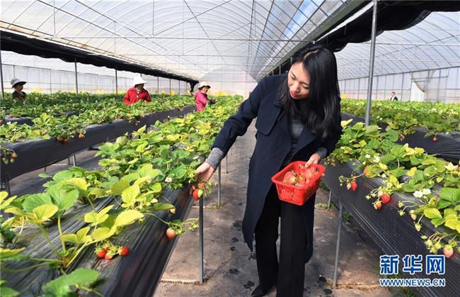 云南富民:乡村振兴带动农民增收