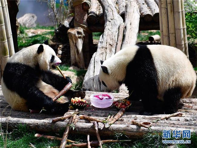 """青海西宁:熊猫馆里迎""""六一"""""""