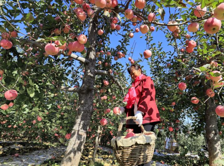 小小红苹果 富了千万家 山地苹果让米脂乡村产业旺起来