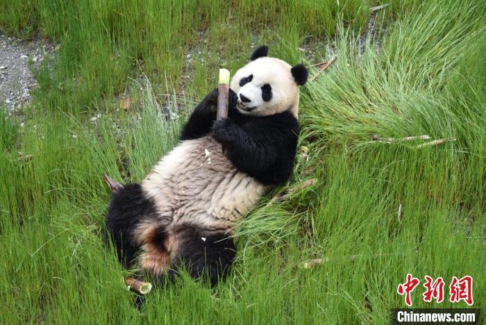 九寨沟熊猫园里的大熊猫。 九寨沟县委宣传部提供 摄