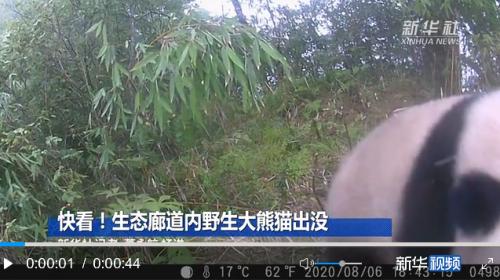 大熊猫国家公园:首次在生态廊道内拍摄到野生大熊猫