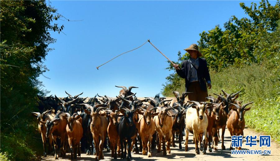 云南弥勒:生态养羊助农增收