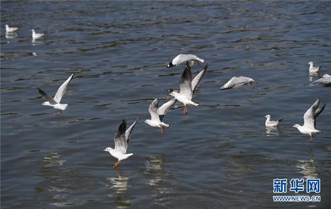 长江重庆段迎来近十年最大规模红嘴鸥迁徙种群