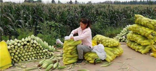 """陕西千阳县草碧镇:甜玉米带来了""""甜日子"""""""